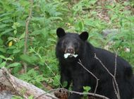 Portion of AT in Cherokee NF Closed to Camping Due to Bear Activity
