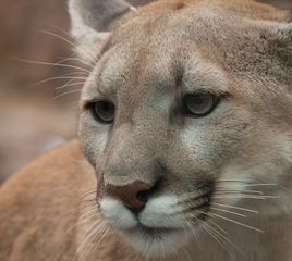 Mountain Lions and Thru-Hiking: Your Questions Answered