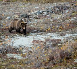 Alaskan Man Found After Days-Long Battle With Grizzly Bear