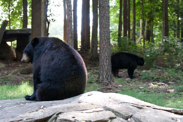 Interview with a Black Bear or 'Why I Don't Need a Gun!'