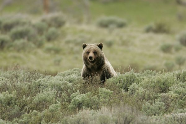 Federal Judge Blocks Grizzly Hunt in Yellowstone