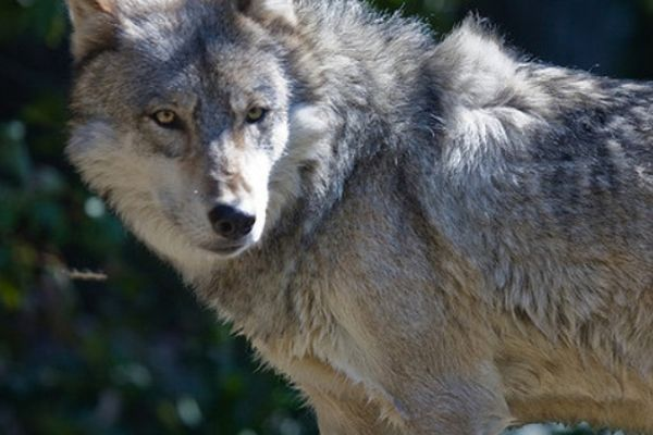 House Takes Step to End Protection for Gray Wolves