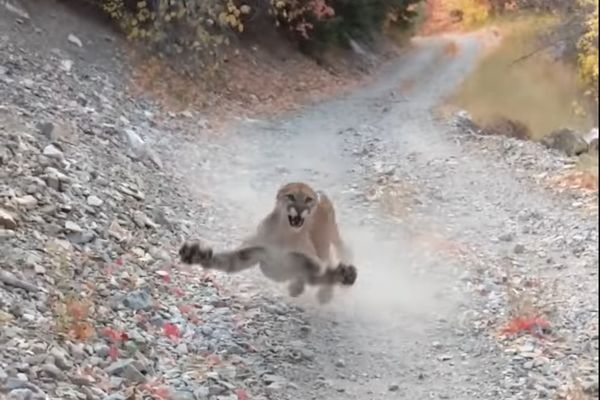 Video: Mountain Lion Follows Utah Trail Runner for 6 Terrifying Minutes