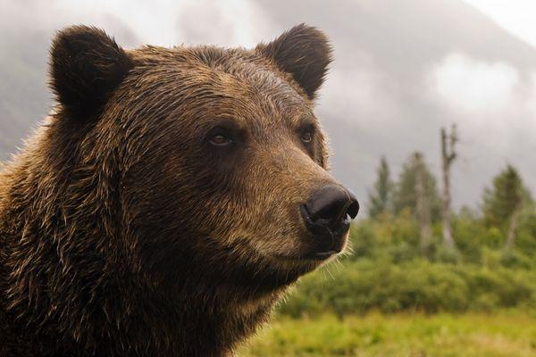 Camper Killed by Grizzly Bear Near Montana's Bob Marshall Wilderness